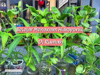 belajar menanam hidroponik di rumah