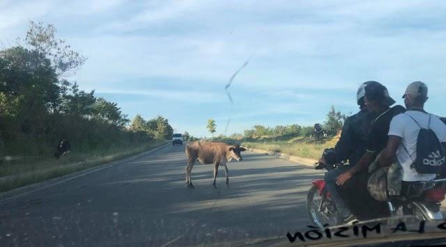 Denuncian vacas realengas en la carretera que da acceso al Hospital Vinicio Calventi