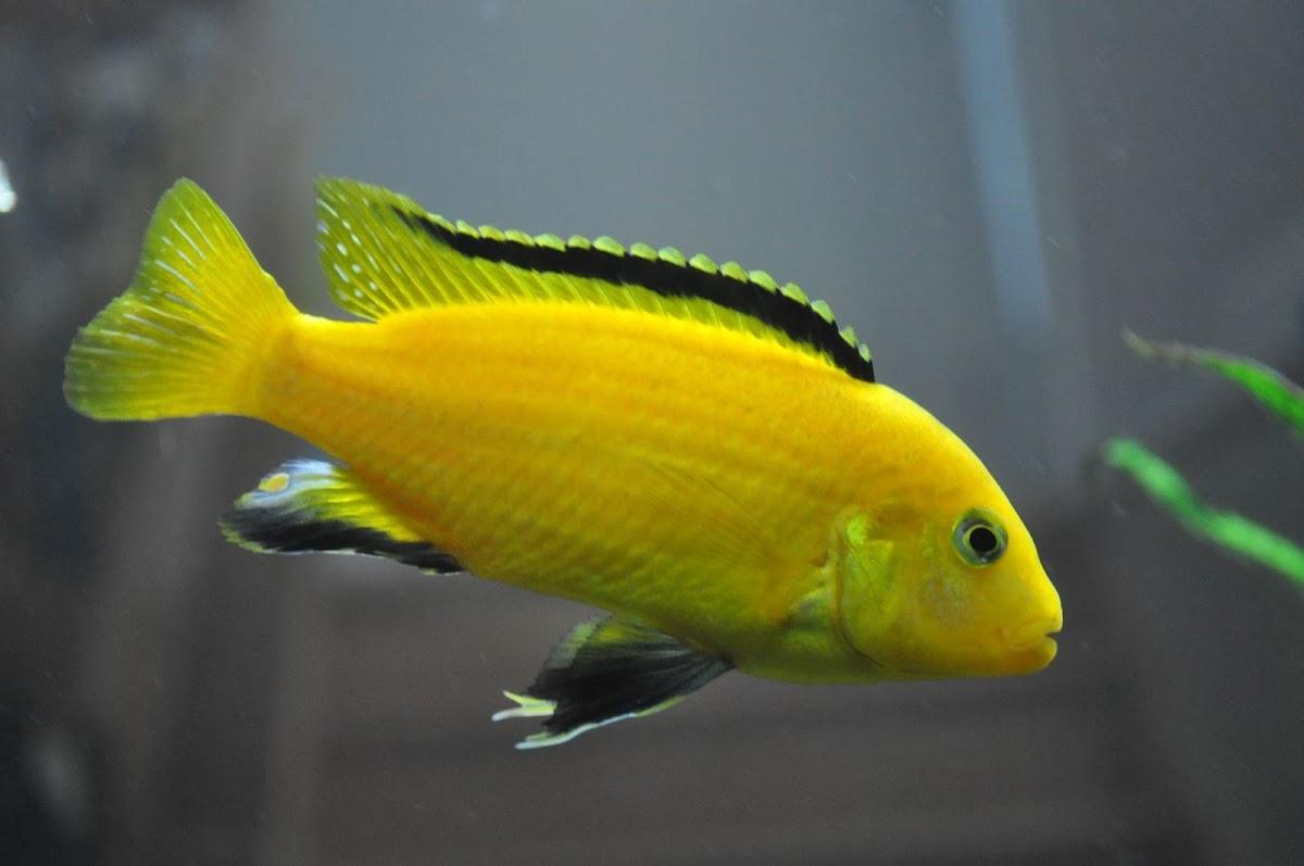 Mengenal Dengan Ikan Lemon, Si Ikan Cichlid Yang Berwarna Kuning