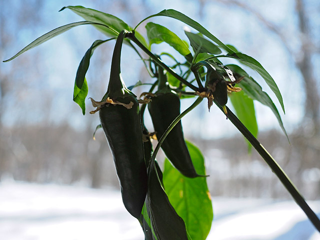 overwintering capsicum, hot peppers, potted peppers as houseplants