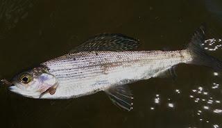Thymallus arcticus