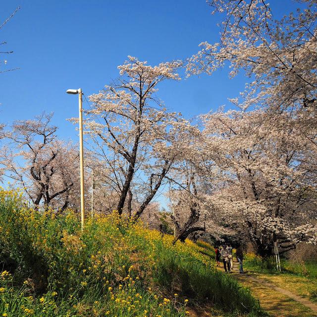 城ヶ谷堤 桜