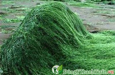 Cách giải gan đơn giản từ tảo xoắn