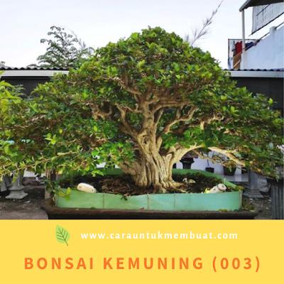 Bonsai Kemuning (003)