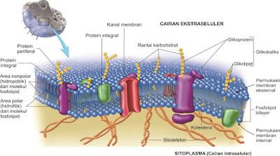 Sel kita dikelilingi oleh membran sel (membran plasma) pada bagian terluar. Membran sel yang memgelilingi sel dan menjaganya mengatur apa yang masuk dan keluar sel. Membran sel memisahkan bagian dalam sel (sitoplasma) dan bagian luar. Integritas membran sel adalah sangat penting untuk kehidupan sel. Membran sel adalah suatu bilayer fosfolipid yang disebut sebagai permeabel atau permeabel selektif, karena dia melewatkan molekul-molekul tertentu untuk masuk ke sel tetapi tidak untuk yang lainnya. Molekul fosfolipid memiliki bagian kepala yang bersifat polar dan ekor yang bersifat nonpolar. Protein yang ada pada membran sel memainkan penting untuk lewatnya suatu senyawa masuk ke sel