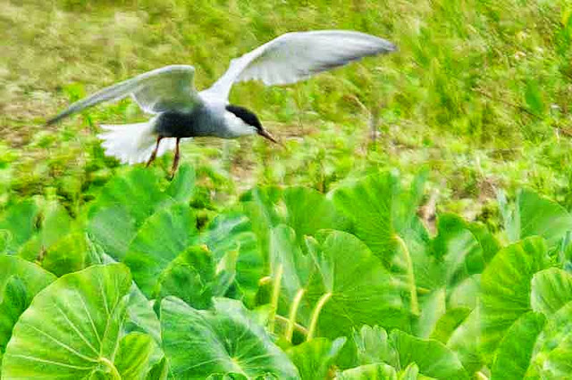 tern, diving, flight,taro field