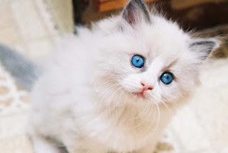 gambar kucing anggora lucu imut - kanalmu