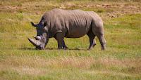 rhino, one horned rhino of Assam