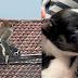 Cão é raptado por macaco e mantido refém por 3 dias na Malásia; veja