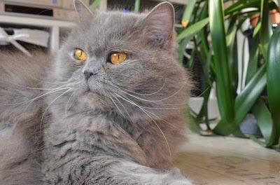 القطط البريطانية طويلة الشعر : British Longhair