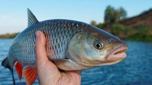 Halalnya Ikan Curian