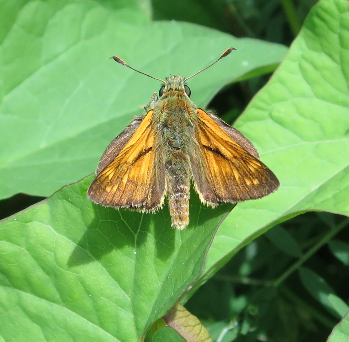Large Skipper (Ochlodes sylvanus) June 25th 2014 on convolvulus leaf
