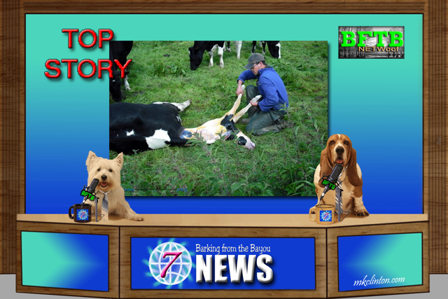 BFTB NETWoof News reports on Heroes help distressed cow deliver its baby