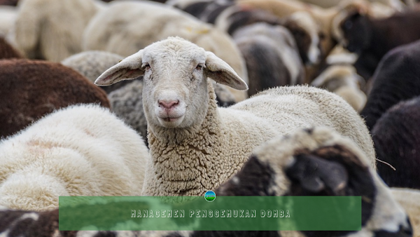 Managemen Penggemukan Domba