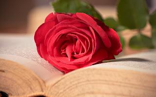 ورد جوري احمر جميل جدا