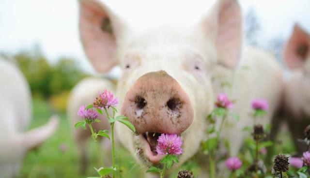 Gute Burger beginnen beim guten Fleisch beginnt beim glücklichen Tier