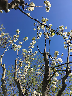 Birne Blühen Insekten