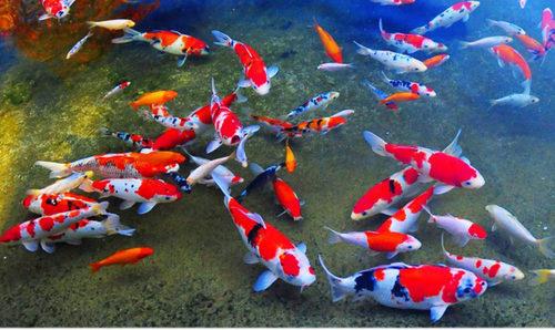 Fakta Tentang Ikan Koi Yang Perlu Anda Ketahui