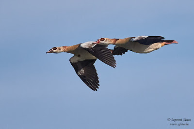Nílusi lúd - Egyptian Goose - Nilgans - Alopochen aegyptiaca