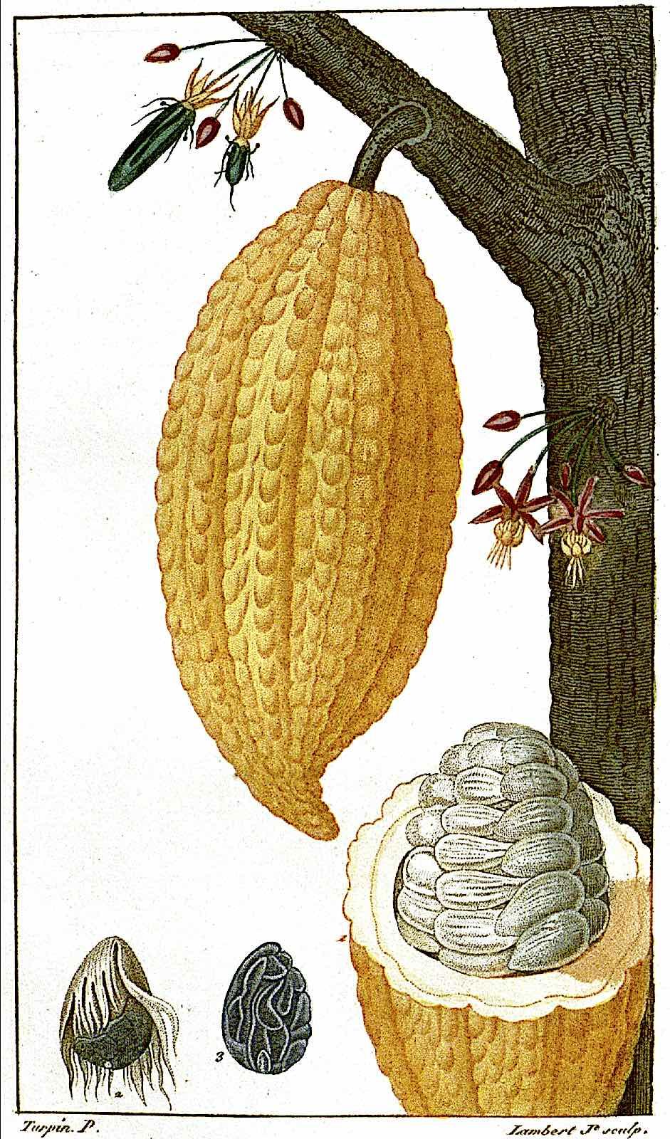 a Pierre Jean François illustration of a cocao plant
