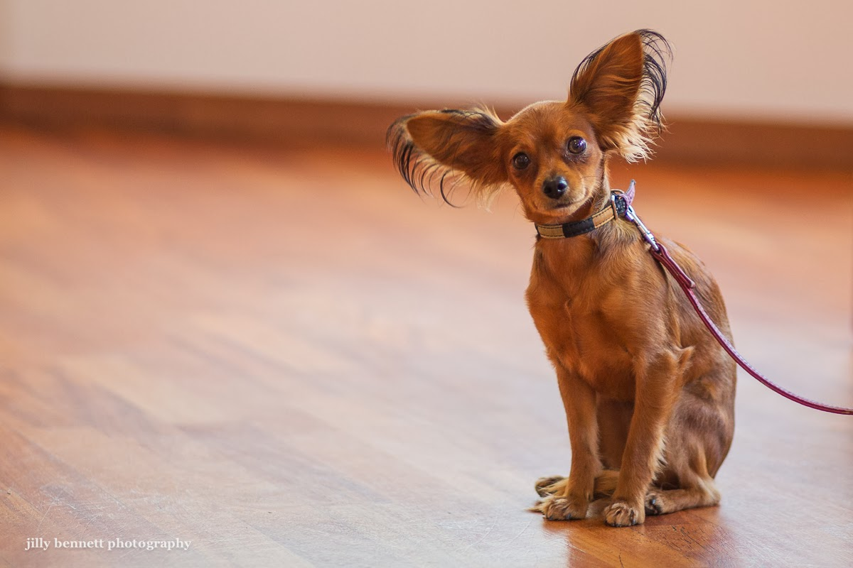 RIVIERA DOGS Hysathis the Russian Toy Terrier
