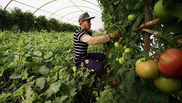 الإنتاج الزراعي :  الجزائر الأولى مغاربيا