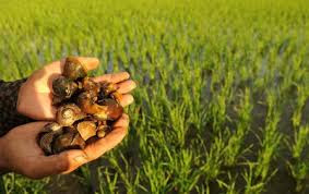 How to Make Organic Fertilizer and Pest Snails Materials