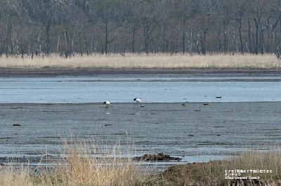 ヒナ2羽連れて干潟に出てきたタンチョウ ≪Red-crowned Crane≫