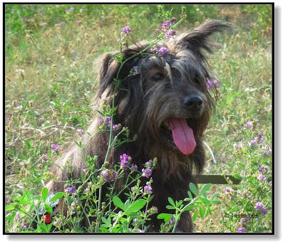 Hund, Mischling