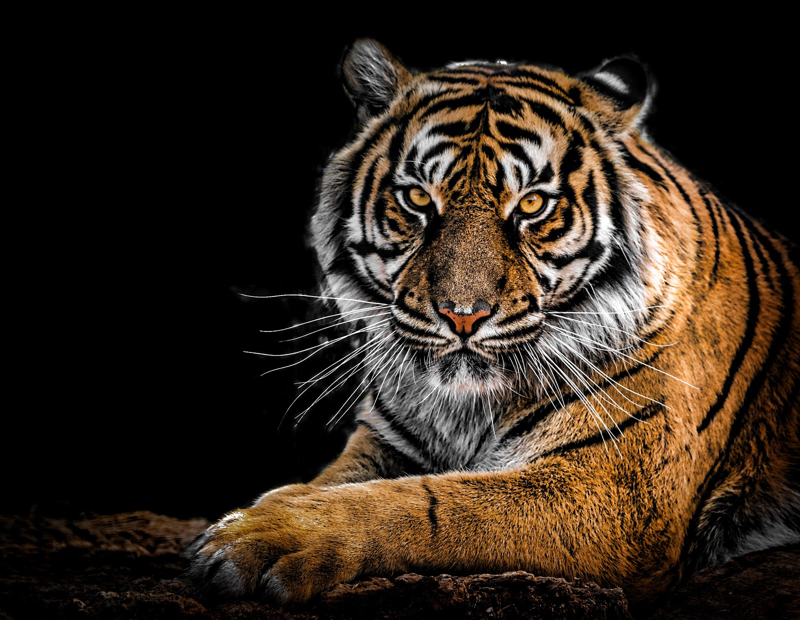 close-up-photography-of-tiger-pictures