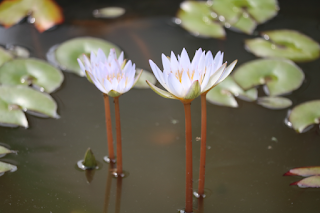 Water lily flower images