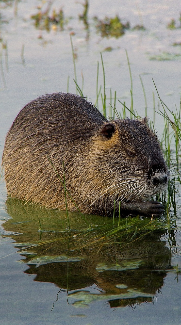 A nutria eating vegetation.
