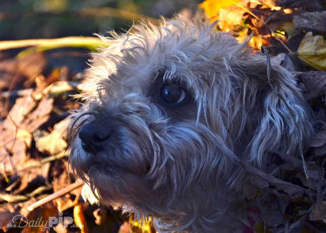 Rescued Yorkie Poo plays in the autumn leaves