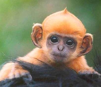 Funny Pictures Gallery Cute Baby Monkeys Cute Baby Monkey Cute