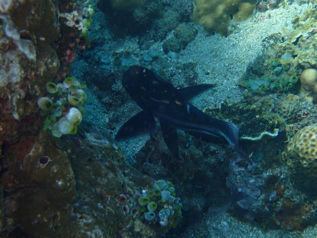 Macolor macularis