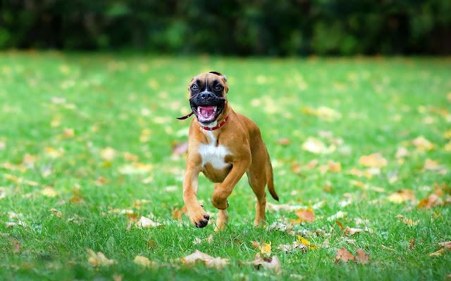 Agressieve hond in de aanval