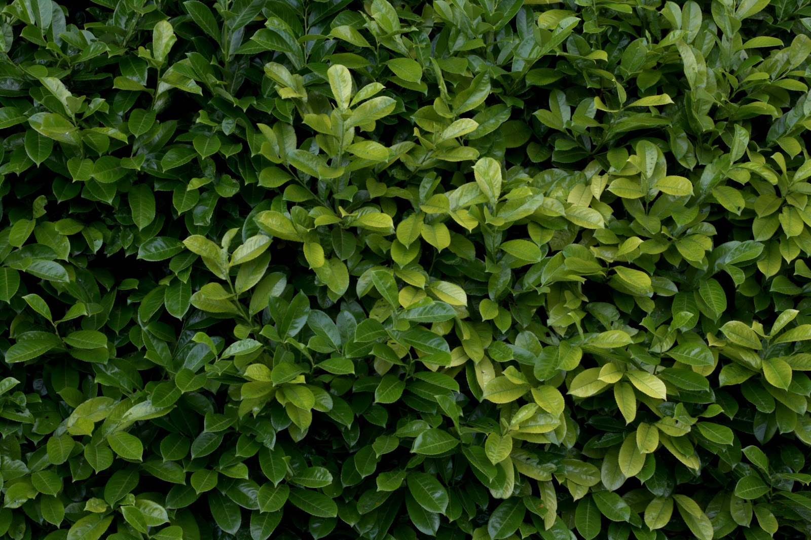 HIGH RESOLUTION SEAMLESS TEXTURES: Plant hedge bush leaf ...
