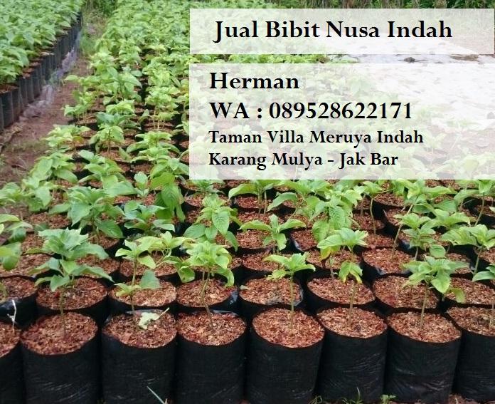 Tanaman Nusa Indah Musaennda Frondosa Jual Bibit