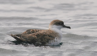 Great Shearwater resting on water