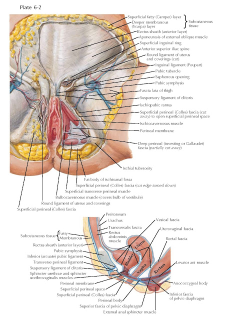 PUDENDAL, PUBIC, AND INGUINAL REGIONS