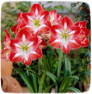 perawatan amarilis agar berbunga sepanjang tahun