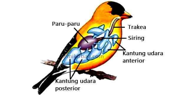 Pernapasan Burung