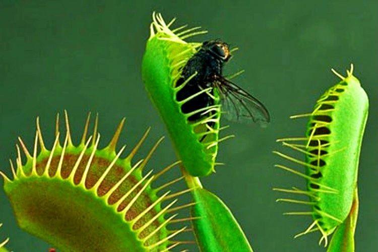 Et yiyen bitki türleri azot ihtiyacının çok büyük bir bölümünü yakaladıkları böceklerden karşılamaktadır.