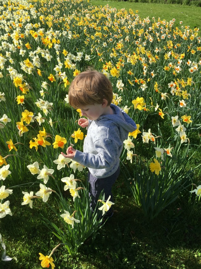 Our-Weekly-Journal-20-March-toddler-amongst-daffodils