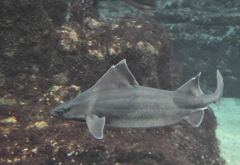 Resultado de imagen de Oxynotus centrina