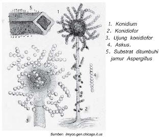 Gambar Aspergillus
