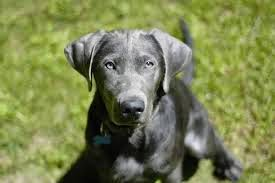 Coach Animal: Well-Bred Silver Lab Puppies For Sale