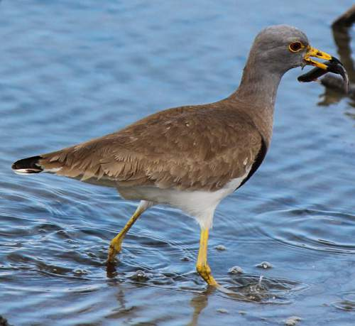 Birds of India - Photo of Grey-headed lapwing - Vanellus cinereus