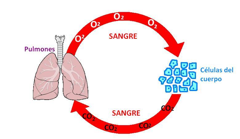 Resultado de imagen para oxigeno a celulas
