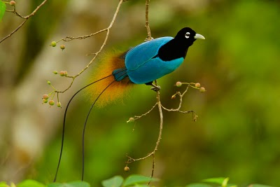 Blue bird of paradise (Paradisaea rudolphi)